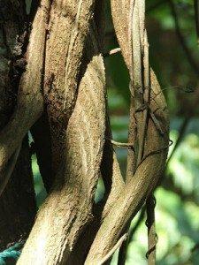 liana di ayahuasca