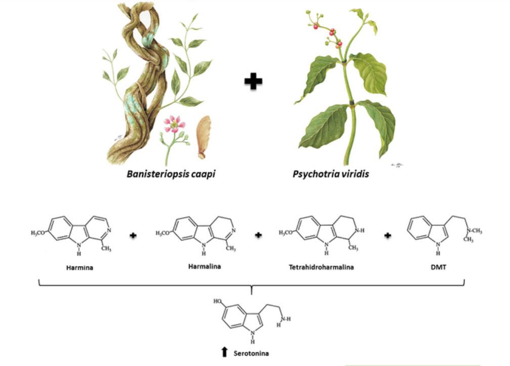 ayahuasca illustrazione etnobotanica e molecole