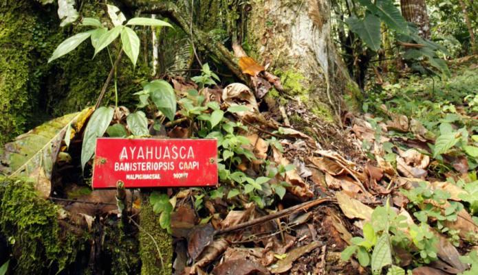 pianta di ayahuasca in natura